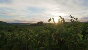 Zonsondergang over wijngaarden in Vrancea, Roemenië in de herfst stock videobeelden
