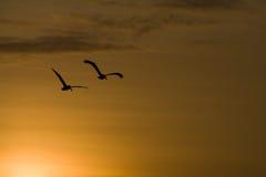 Zonsondergang pelikans stock fotografie