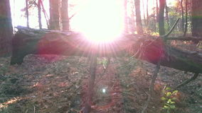 Zonsondergang in Pijnboombos stock footage
