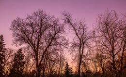 Zonsondergangbomen Stock Afbeeldingen