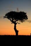 Zonsondergangboom stock afbeelding