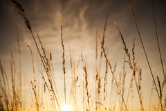 Zonsonderganggras Stock Afbeeldingen