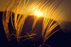 Zonsonderganggras op de achtergrond van het zonsonderganggebied stock afbeeldingen