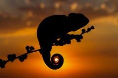 Zonsondergangkameleon stock afbeeldingen