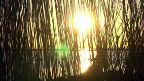 Zonsonderganglicht door phragmites stock video