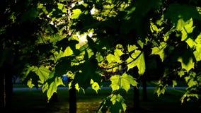 Zonsonderganglicht in het park van de berkboom met ruwe schaduwen stock video