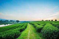Zonsondergangmening van het landschap van de theeaanplanting royalty-vrije stock fotografie