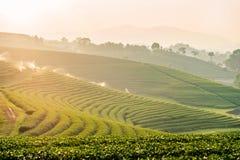 Zonsondergangmening van het landschap van de theeaanplanting royalty-vrije stock foto's