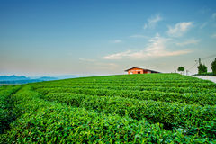 Zonsondergangmening van het landschap van de theeaanplanting stock afbeeldingen