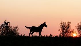 Zonsondergangpaard in aard Royalty-vrije Stock Afbeelding