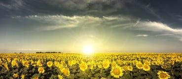 Zonsondergangzonnebloemen Stock Afbeelding