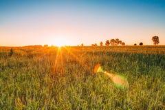 Zonsondergangzonsopgang over Tarwegebied De zon glanst over Groene Weide Stock Fotografie