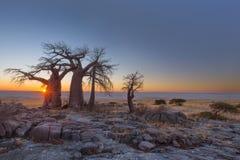 Zonsopgang bij de baobabs bij Kubu-Eiland stock fotografie