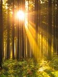 Zonsopgang in de boszonstralen die door bomen en ochtendmist glanzen Royalty-vrije Stock Foto's