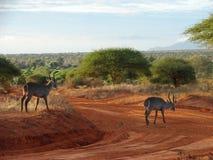 Zonsopgang in de savanne Stock Afbeeldingen