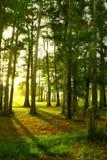 Zonsopgang door de bomen stock afbeelding