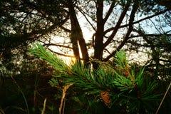 Zonsopgang door de Bomen Stock Foto