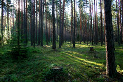 Zonsopgang in een hout. Royalty-vrije Stock Foto