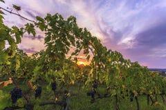 Zonsopgang in een Wijngaard Stock Foto
