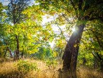 Zonsopgang in eiken bos Stock Afbeelding