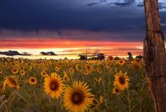 Zonsopgang en gebied van zonnebloemen stock afbeelding