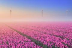 Zonsopgang en mist over bloeiende tulpen, Nederland Stock Afbeelding