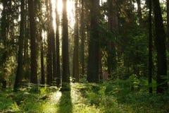 Zonsopgang in het bos Stock Afbeelding