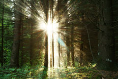 Zonsopgang in het bos Stock Fotografie