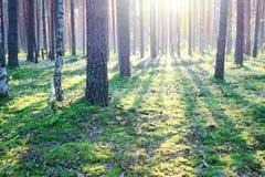 Zonsopgang in het bos van de Pijnboom Stock Foto's