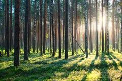 Zonsopgang in het bos van de Pijnboom Stock Afbeeldingen