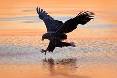 Zonsopgang met adelaar Jager in weater Eagle-strijd met vissen De winterscène met roofvogel Grote adelaar, sneeuwoverzees Vlucht  stock afbeeldingen
