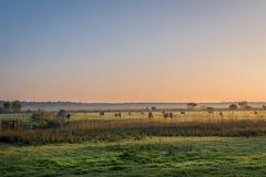 Zonsopgang op een kudde van Belties stock foto