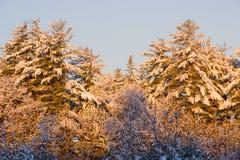 Zonsopgang op sneeuwpijnboombomen Royalty-vrije Stock Foto's