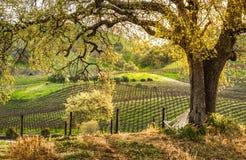 Zonsopgang op wijngaarden Royalty-vrije Stock Fotografie