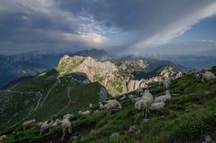 Zonsopgang over Mangart-pas, Julian Alps met sheeps in voorgrond, het nationale park van Triglav, Slovenië, Europa royalty-vrije stock foto's