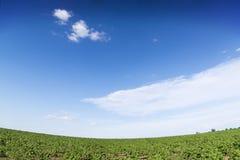 Zonsopganggebied van zonnebloemen onder blauwe hemel. Stock Afbeeldingen