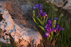 Zonsopganglicht op een bergbloem stock fotografie