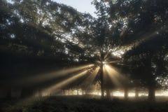 Zonstralen die door bomen in bos op mistig Autumn Fall s glanzen Royalty-vrije Stock Afbeeldingen