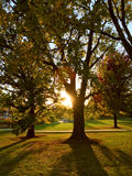 Zonstralen die door grote bomen in recente middag glanzen Stock Afbeelding