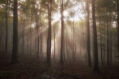 Zonstralen die in een mooi verrukt bos met mist in de zomer glanzen Stock Fotografie