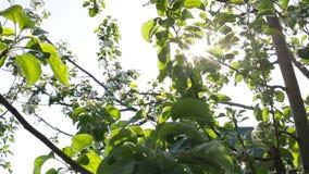 Zonstralen door boomtakken en groene bladeren stock videobeelden