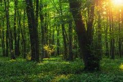 Zonstralen door dikke bomentakken in dicht groen bos stock afbeelding