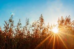 Zonstralen door het gras Zonlicht achtergrondlicht royalty-vrije stock afbeelding