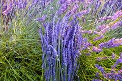 Zonstralen over een boeket van lavendel stock afbeelding