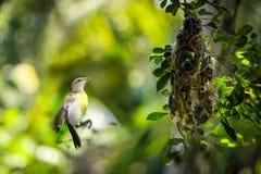 Zonvogel en nest Stock Afbeelding
