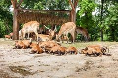zoo κοπάδι των αντιλοπών στοκ φωτογραφίες