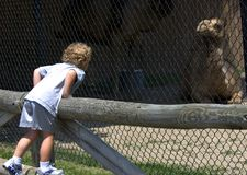 At the Zoo. Young boy standing on wooden fence looking at camels at zoo Stock Photography