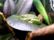 zoo amphibie de reptile d'Australie de grenouille Photo stock