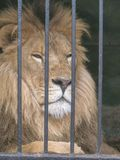 zoo animal africain de lion de cage de servage images libres de droits
