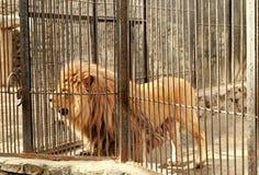 zoo animal africain de lion de cage de servage Images libres de droits